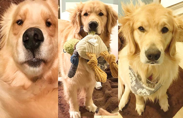 Everypawty Meet The 3 Golden Retriever Sisters With The